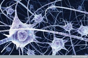 Neurons - Credit http://www.flickr.com/photos/lorelei-ranveig/2294885420/