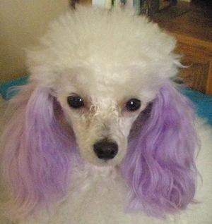 Dog with Purple Ears
