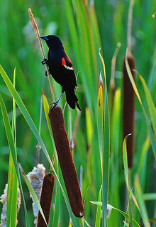 Redwing Blackbird and Cattails